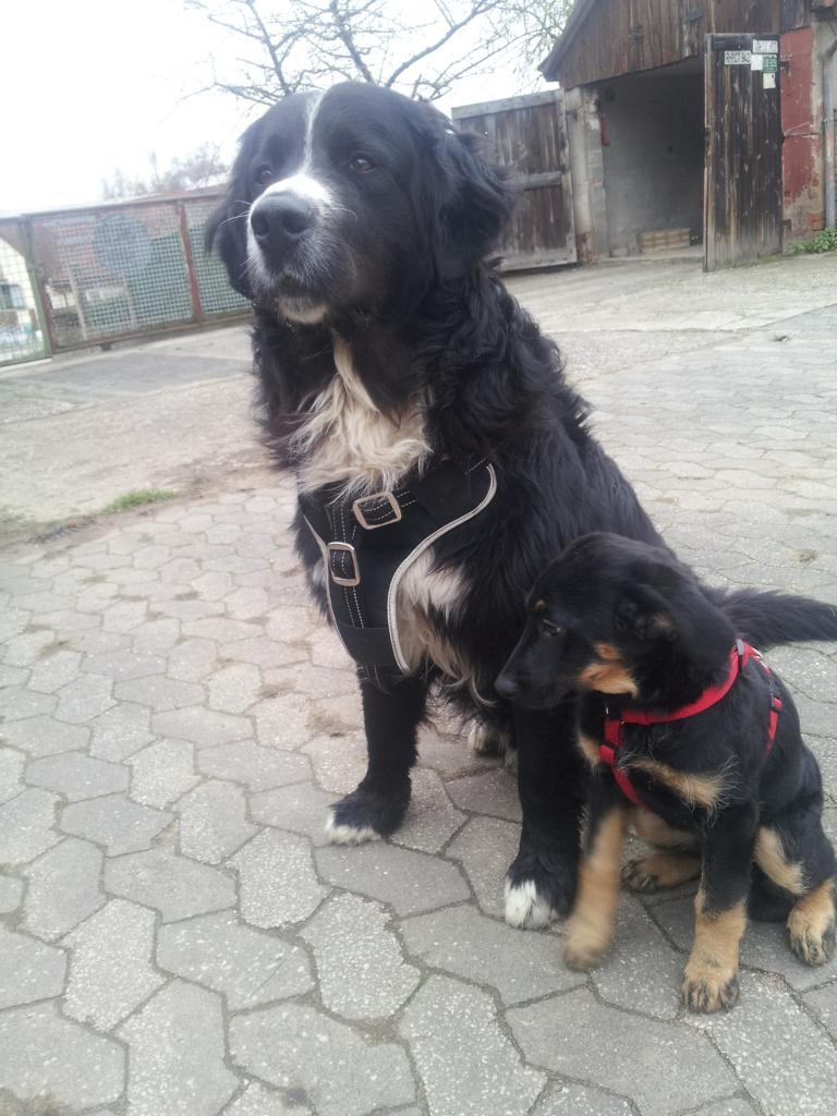 amber berner sennenhund labrador mischling mix