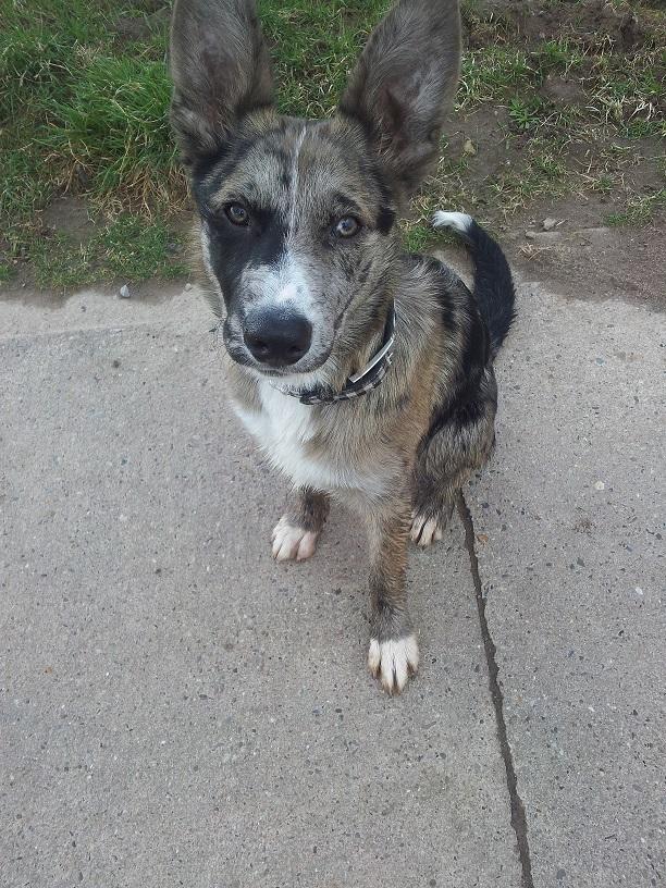 australian shepherd schäferhund mix