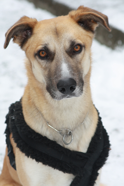 IMG 1658 Viktor (Irish Wolfhound, Kangal, Labrador, Malinois)