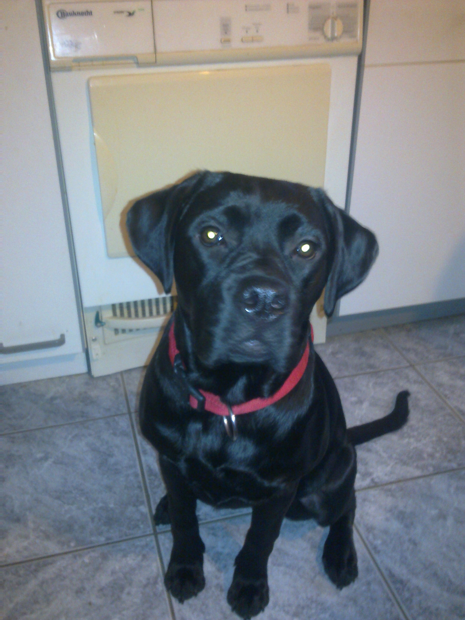 Informationen: Mutter :Bordeauxdogge- Bullmastiff Mix Vater :Labrador
